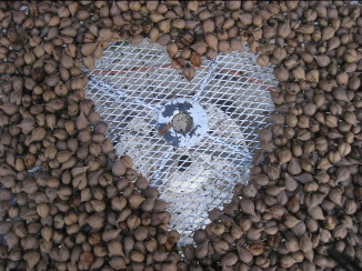 heartnut harvest